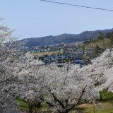 烏帽子山公園千本桜