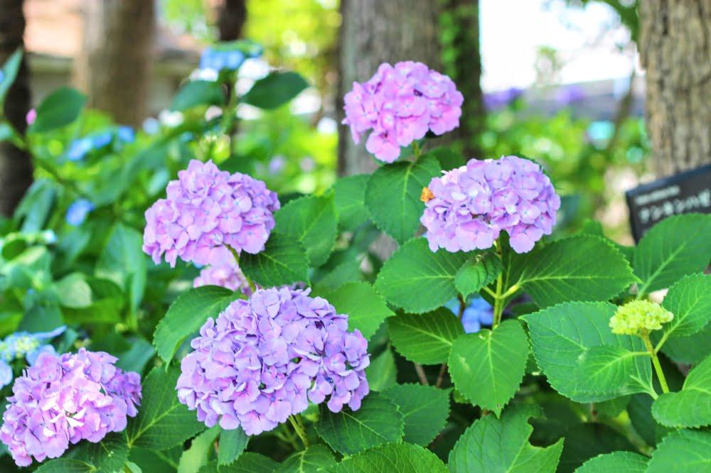 石橋文化センターの紫陽花