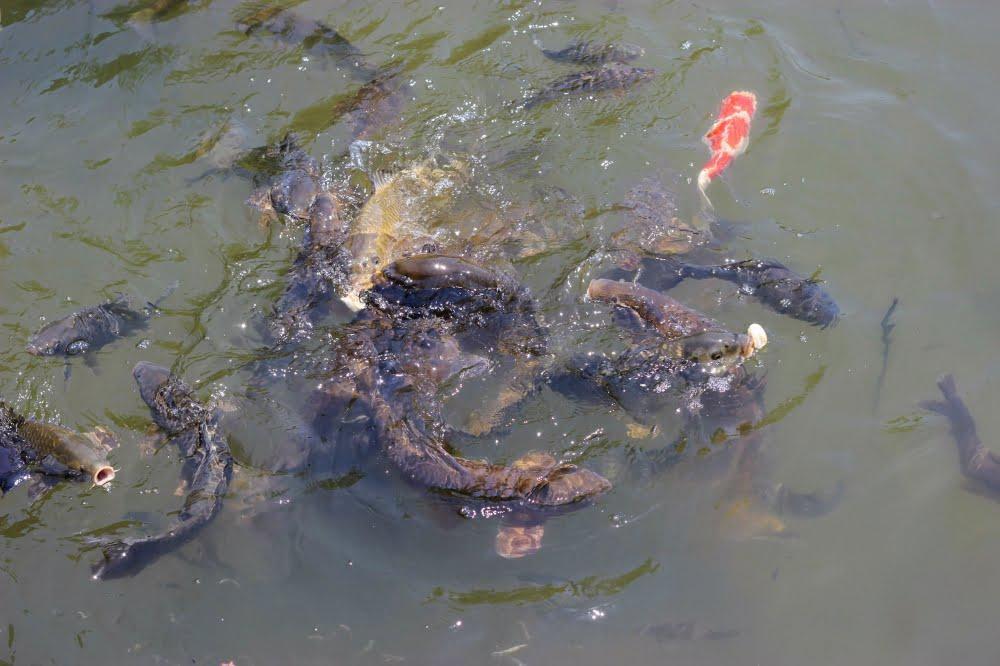 石橋文化センターの魚
