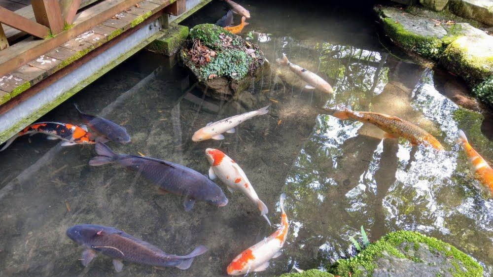 調音の滝公園の鯉